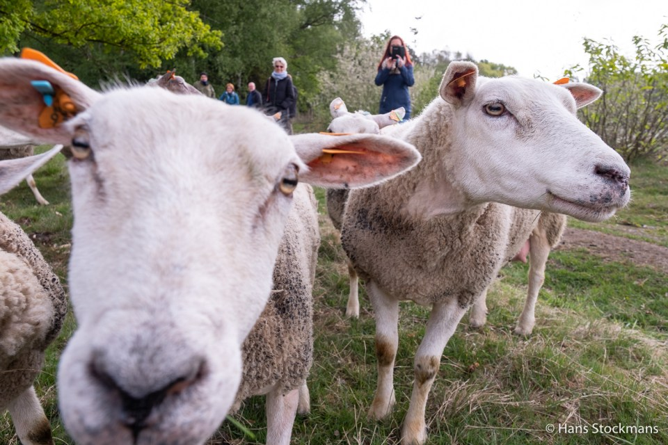 Nieuwsgierige schapen.