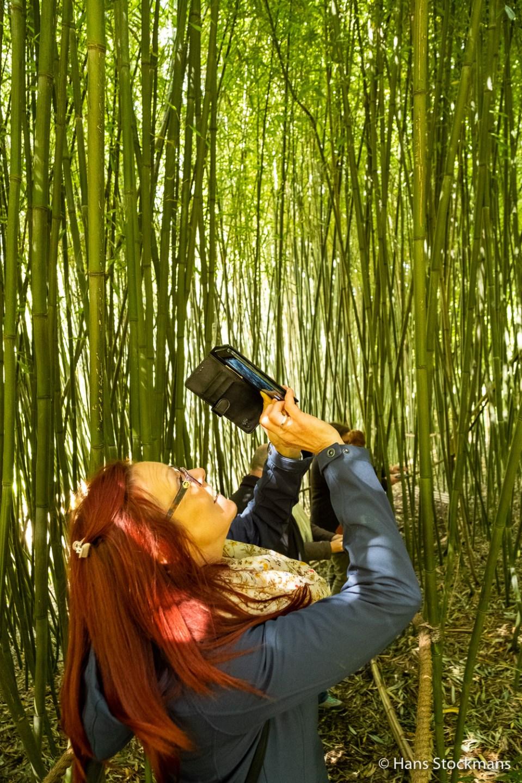 Bamboebos in het Arboretum van Bokrijk.