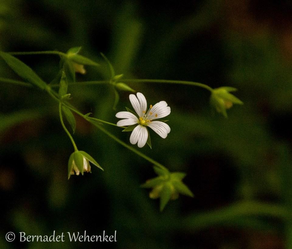 Witte bloempjes.