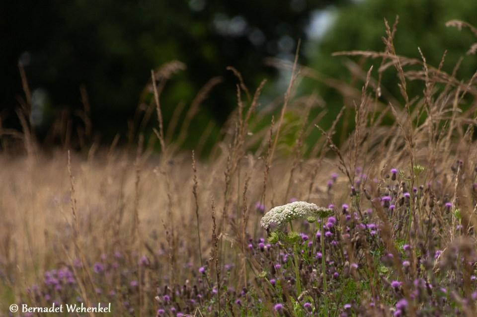 Grasland met zomerbloemen.