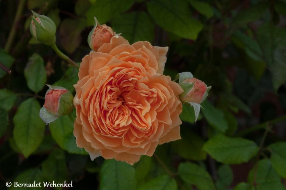 Een van de vele heerlijk geurende rozen in Mielen-boven-Aalst.