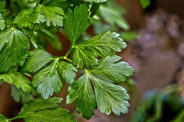 Perejil hojas