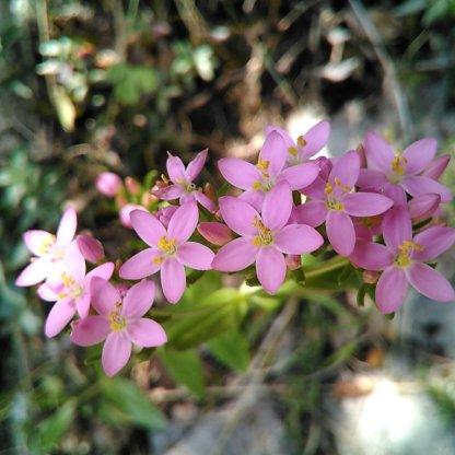 Ordesa-Flora_13