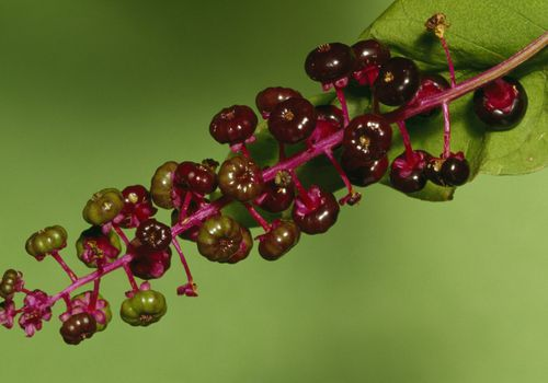 Pokeweed Benefits Side Effects And Preparations