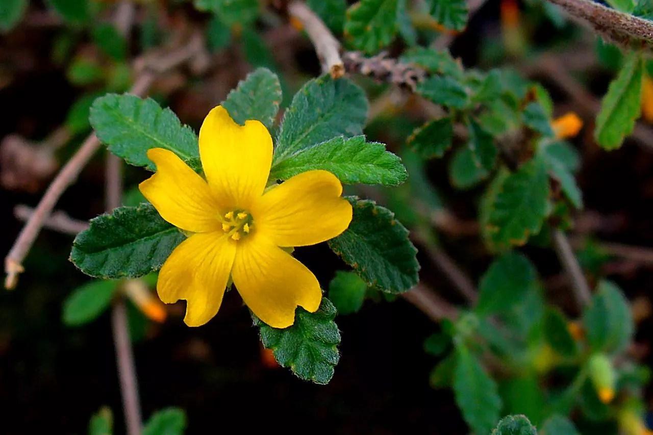 阳光下的达米亚娜植物