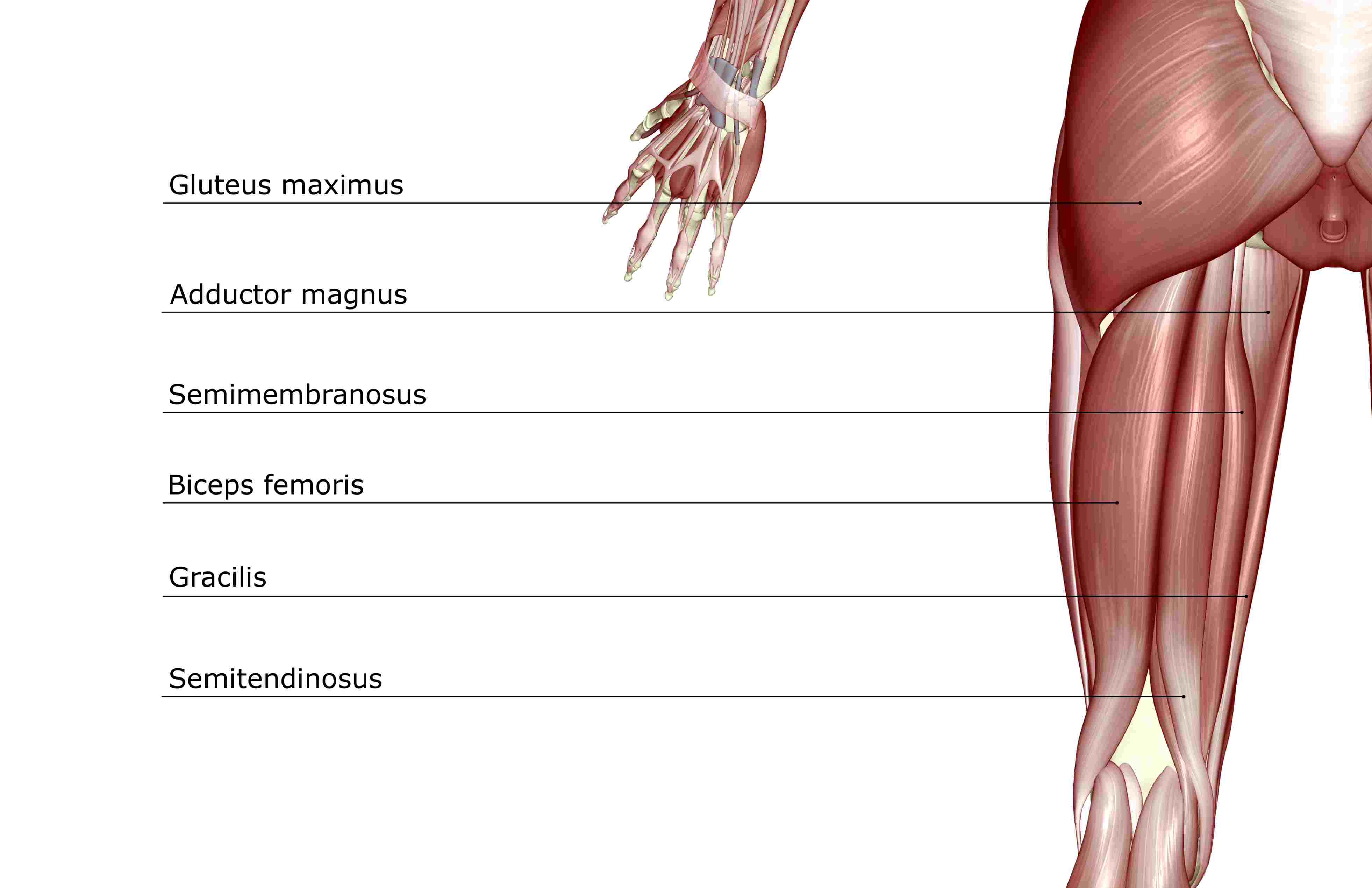 Hamstring Muscles And Your Back Pain