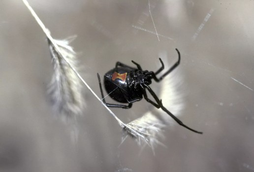 Con nhện góa phụ.