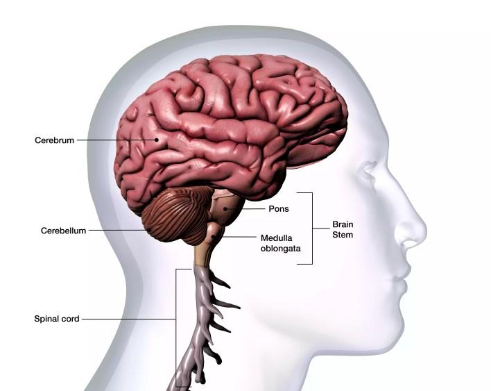 بارز، بسبب، رأس الرجل، ب، تشريح الدماغ، صنف، على أبيض، الخلفية