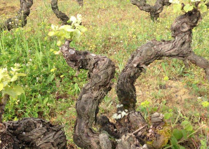 VDV56-Vignes-de-mauzac-rose-chez-les-Plageoles