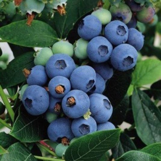 Chippewa Blueberry - Fruits And Berries | Veseys
