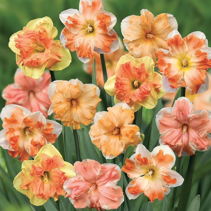 Split Corona Mix Daffodil   Flowers And Bulbs   Veseys Details