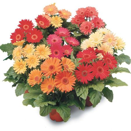 Revolution Mix Gerbera Daisy   Flower Seeds   Veseys Details