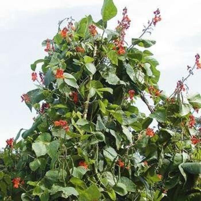 Scarlet Runner Pole Bean Vegetables Veseys