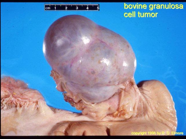 Anestrus Images