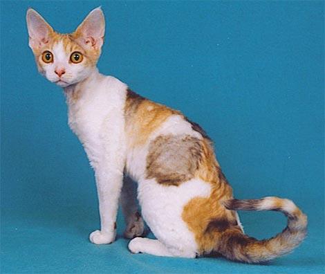 Races de chat rares et inhabituelles