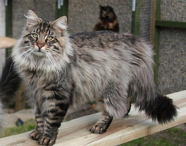 Katzenzucht Norwegisch-Waldkatze