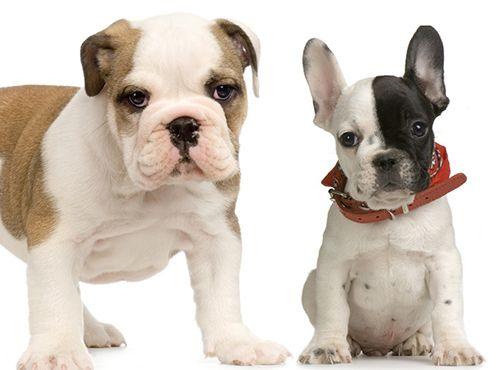 seguros mascotas Bulldogs