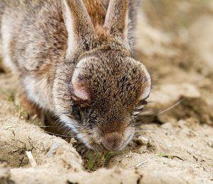 Conejo mixomatosis