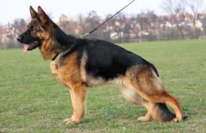 10-Most-Costly-Dog-Breeds-In-Pakistan-German-Shepherd