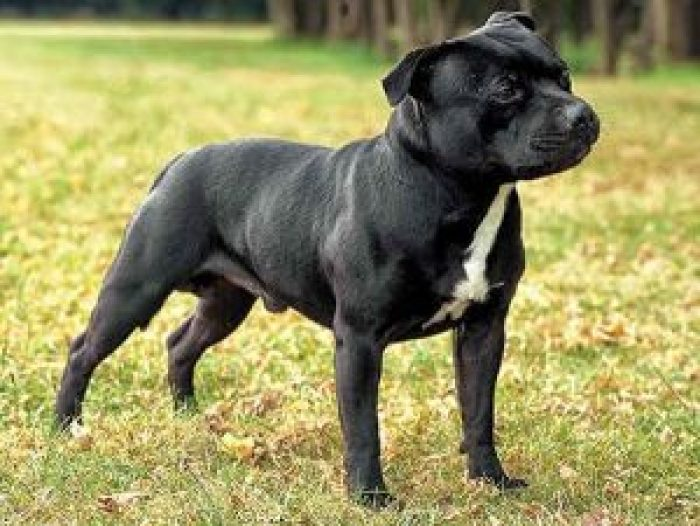 10 most costly breeds of dogs Staffordshire Bull Terrier