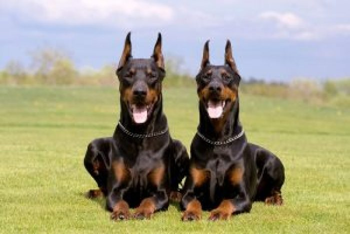 10 most costly breeds of dogs Doberman Pinscher