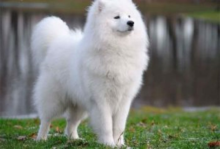 10 most costly breeds of dogs Samoyed