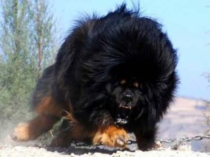 10 most costly breeds of dogs Tibetan Mastiff