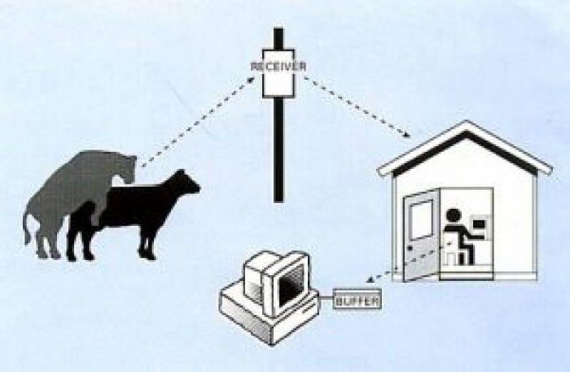 Estrus Detection In Dairy Animals