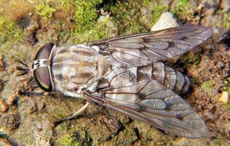 Horse Fly , Tabanus