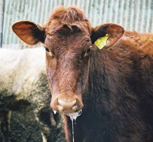 Foot And Mouth Disease Or FMD Vaccination