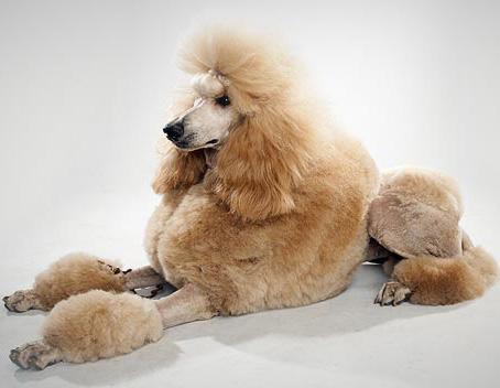 Poodle - Dog Breed