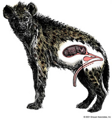 Female Hyena has pseudo-penis