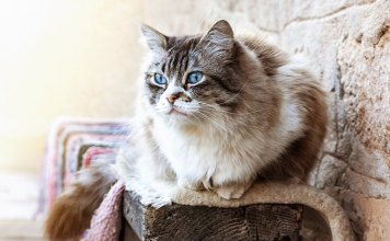 Worst Things about Living with a Ragdoll Cat