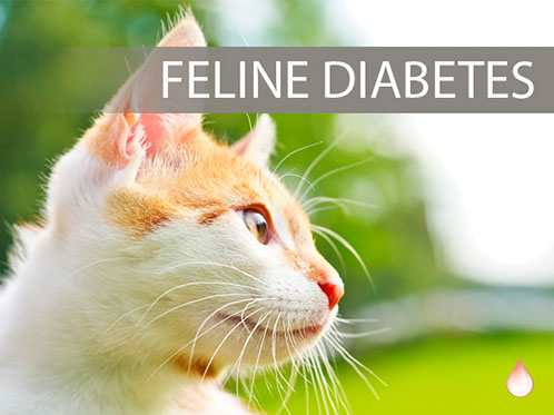 Diabetic Cats Like Me Must Have Our Blood Sugar Monitored and Controlled