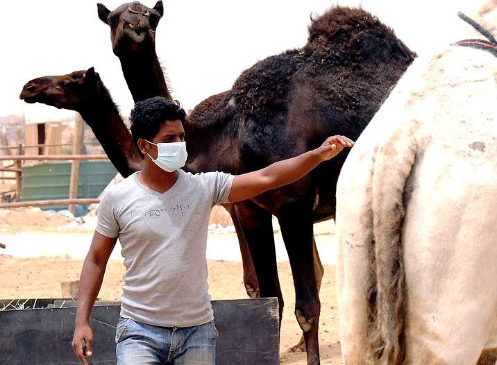 Camellos-1