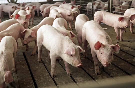 granga-cerdos