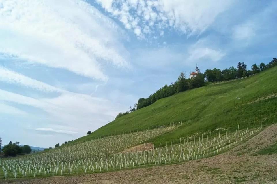 Maribor wijn