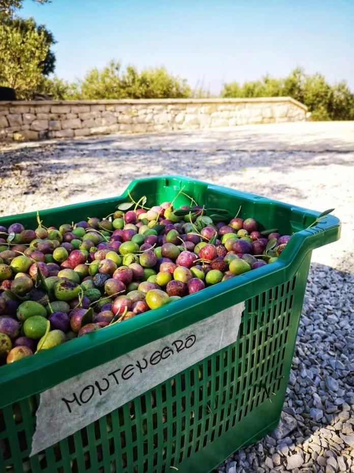 vakantie in Kroatië olijven brac
