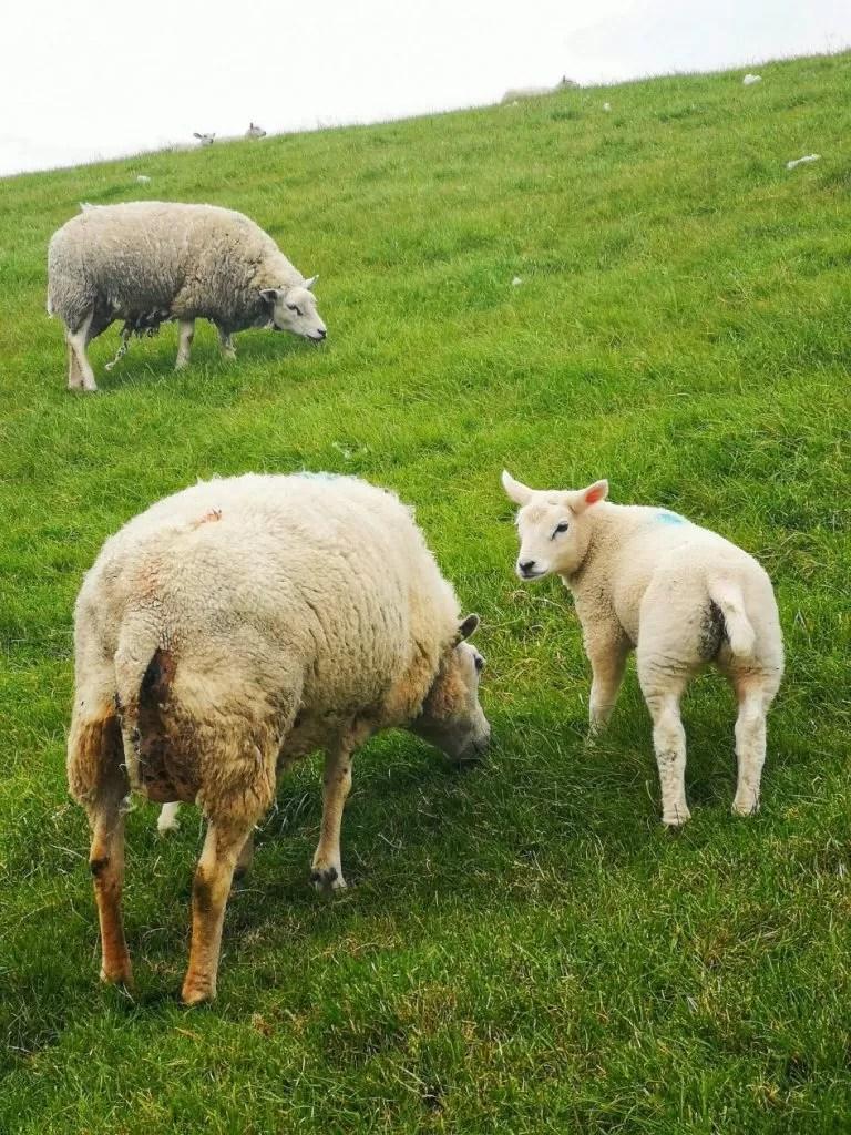 schapen nederland