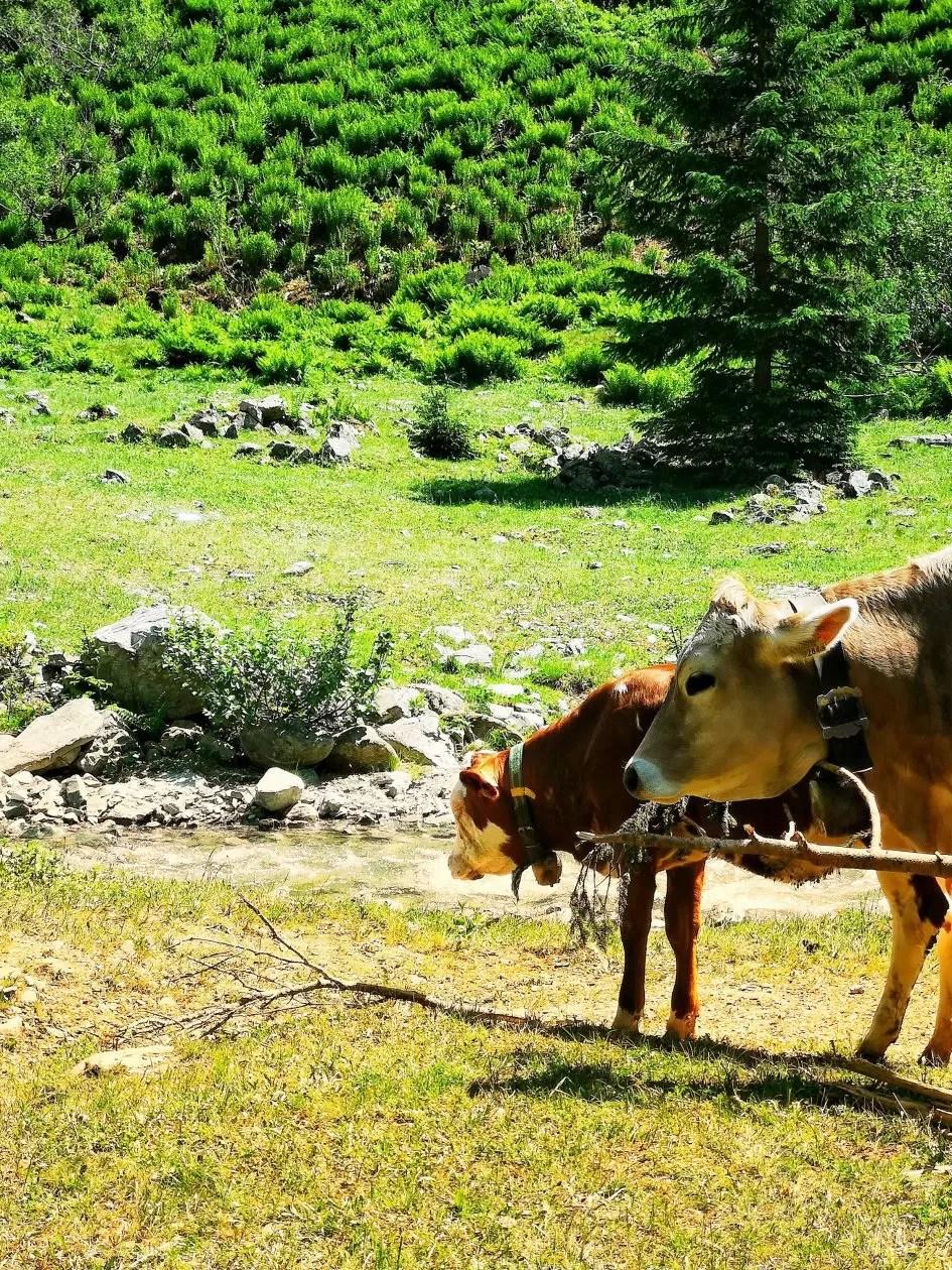 montafon koe