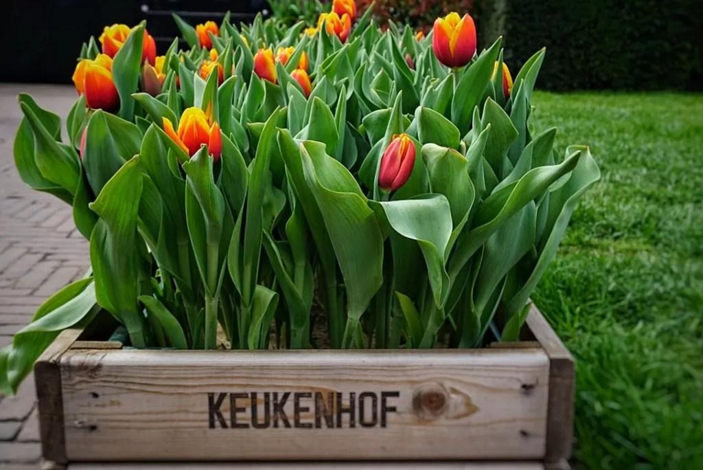 tulpen de keukenhof
