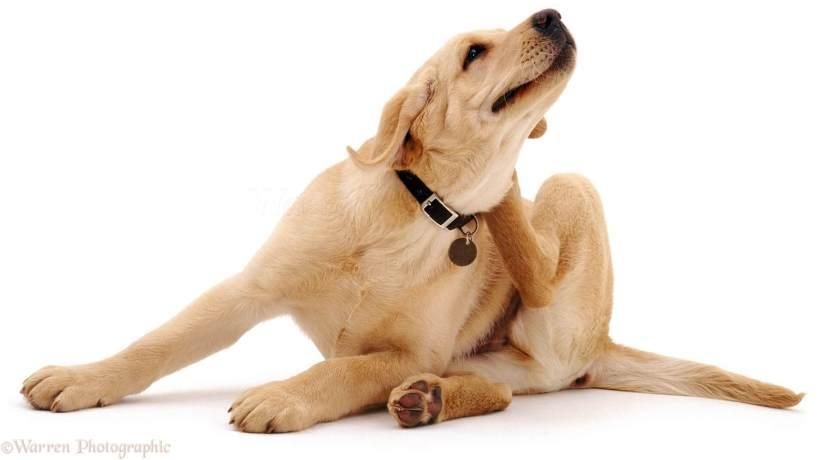 Resultado de imagem para cachorro com pulga