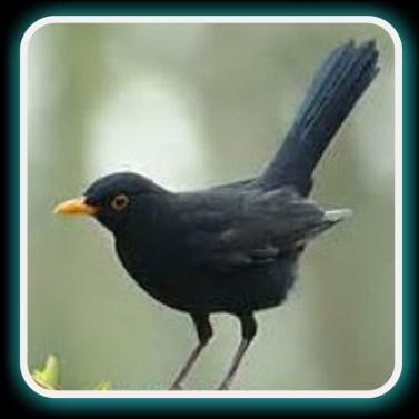 blackbird done