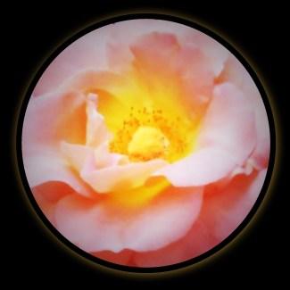 pink rose2-001 - Copy