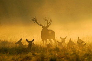 Rotwild, Cervus elaphus, Red deer