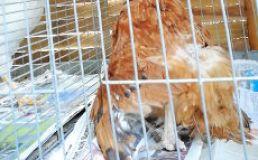 verletztes Huhn