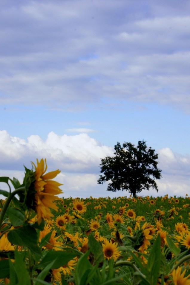Baum und Sonnenblumen