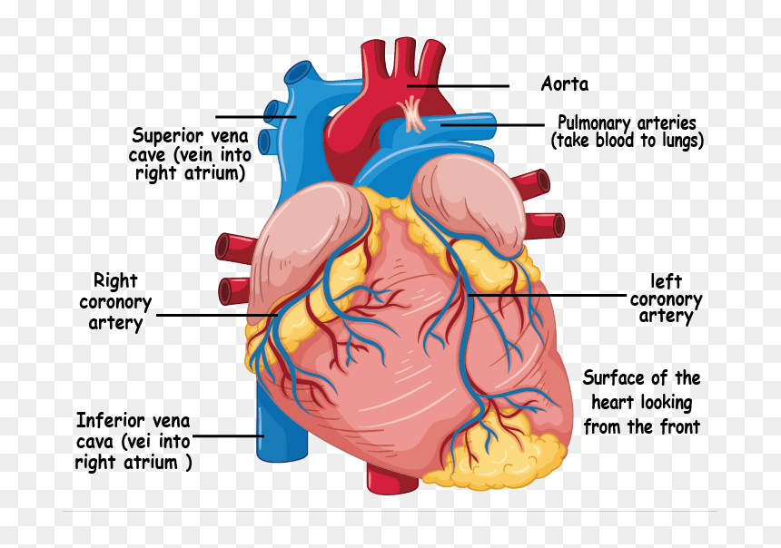Understanding The Heart And Coronary Arteries Human Heart Diagram Hd Png Download Vhv