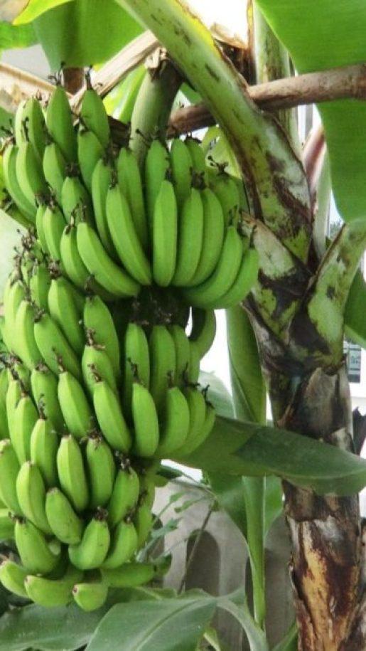 東南アジア トロピカルフルーツ バナナ