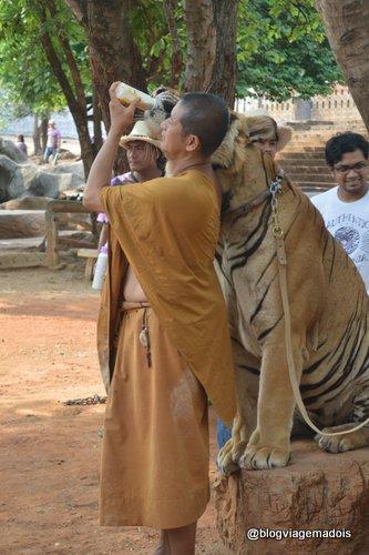 O monge alimentando o tigre